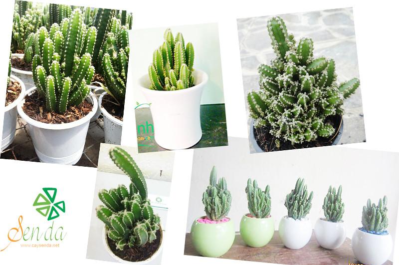 caysenda.com | sen da | xuong rong | tieu canh sen da | art plant | terrarium | xuong rong thap