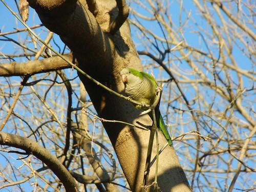 Monk Parakeet, Ciutadella Park, Barcelona
