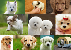 puppy love(0.0), dog breed(1.0), animal(1.0), puppy(1.0), dog(1.0), pet(1.0), mammal(1.0), retriever(1.0),