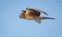 Harrier Fly By
