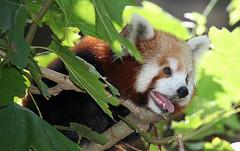 flower(0.0), pet(0.0), animal(1.0), red panda(1.0), mammal(1.0), fauna(1.0), wildlife(1.0),