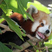 Small photo of Red Panda(Ailurus fulgens)