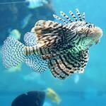 Underwater Lion King #沖縄 #沖縄旅行 #okidocie #thatshisalife #gonetookinawa #travel #jetsetter #docdidit #allidoisfckntravel