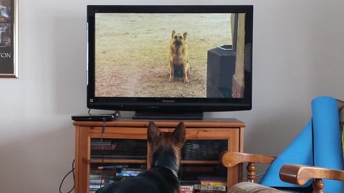 """Sofi watching the """"Littlest Hobo"""" on tv"""