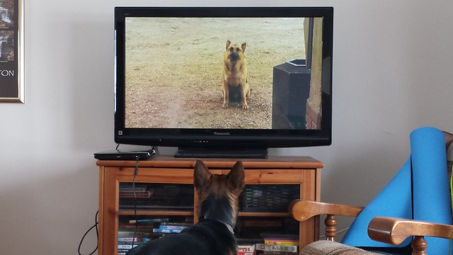 "Sofi watching the ""Littlest Hobo"" on tv"