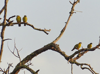 Yellow-footed Green Pigeon (Treron phoenicopterus)