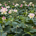 lots of lotuses by Muffet