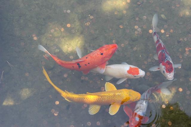 Koi fish japanese garden flickr photo sharing for Japanese friendship garden san jose koi fish