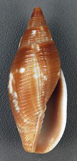 Mitra barbadensis (Barbados miter snail) (San Salvador Island, Bahamas) 2