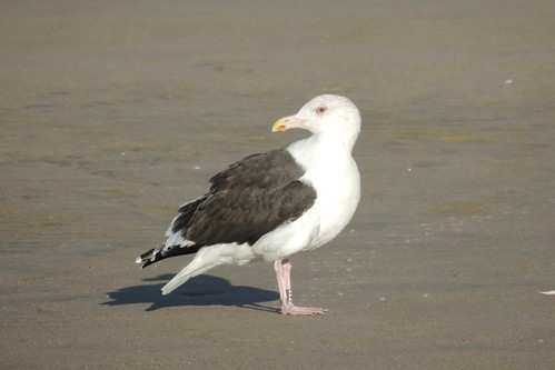 #100 Great Black-backed Gull (Larus marinus)