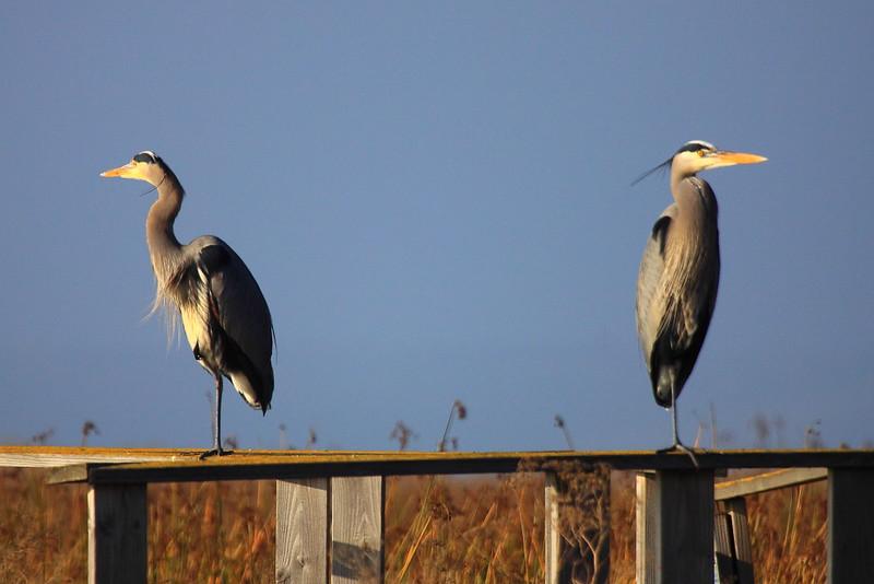 IMG_8222 Great Blue Heron
