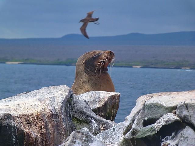 León marino en el barranco de los solteros de isla Plaza Sur (Galápagos)