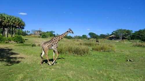 usa animals zoo orlando florida wildlife disney disneyworld themepark animalkingdom