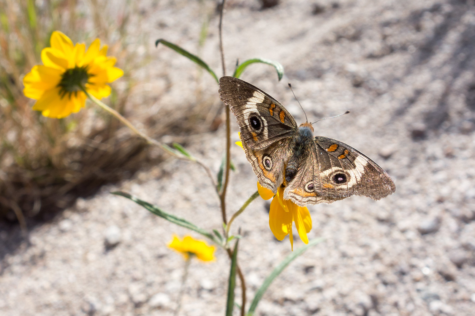 1412 Butterfly in Agua Caliente Canyon
