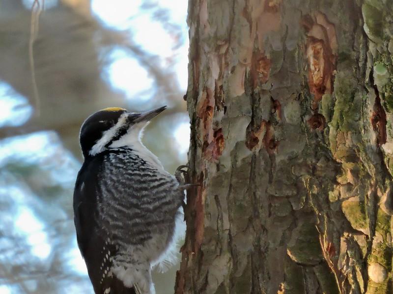 Black-backed Woodpecker #20 (Lifer 113)