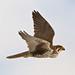 Adult Female Prairie Falcon (Falco mexicanus)