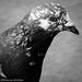 pigeon portrait von D3ND0