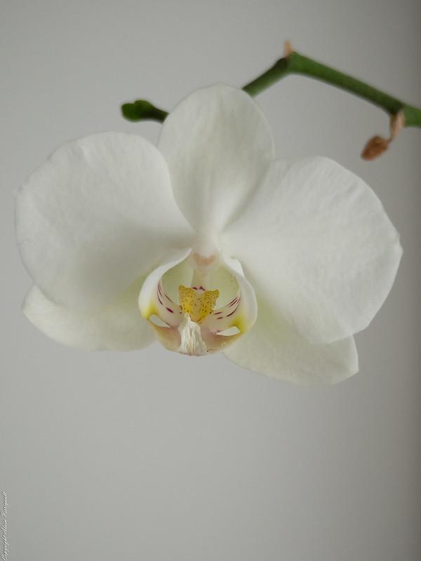 Orchidée 16415460938_d719e138f1_c