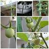 Tomat #hydroponic #berkebun #growyourfood #green #relaxing