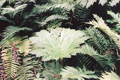 arecales(0.0), shrub(0.0), rainforest(0.0), flower(0.0), tree(0.0), jungle(0.0), vascular plant(1.0), fern(1.0), branch(1.0), leaf(1.0), flora(1.0), ostrich fern(1.0),