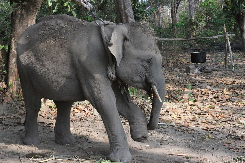 Elephant Jun had been caught in a wire trap