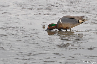 2015-03-06 Green-winged Teal (03) (1024x680)