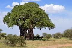 baobab tree, Tarangire Natl. Park Tanzania