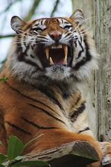 Tiger teeth