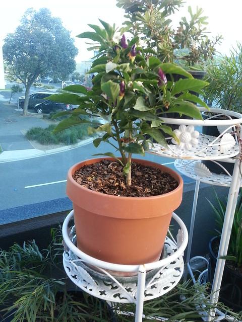 Balcony Chili Plant