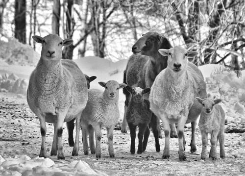 Sheep B & W