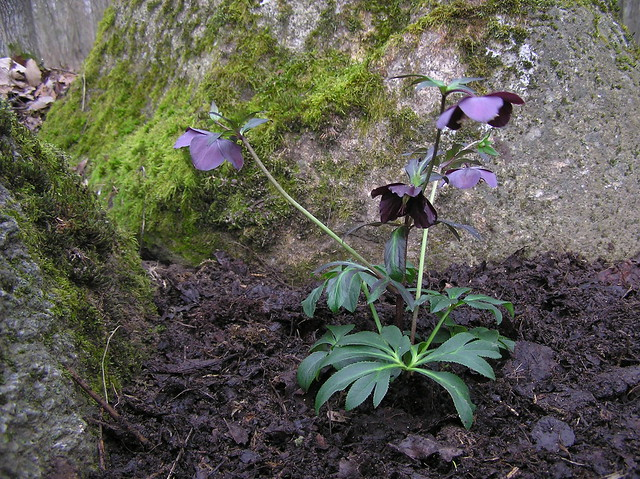 Helleborus orientalis 'Lucy Black'