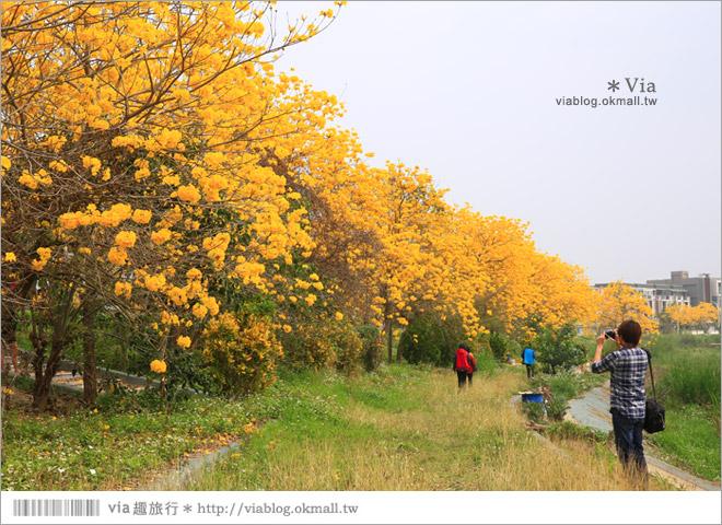 【嘉義景點】嘉義軍輝橋黃金風鈴木~全台最美的堤防!開滿滿的風鈴木美炸了!10