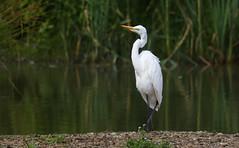 Herons, Spoonbills, Egrets & Flamingoes