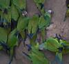 Dusky-Headed Parakeets 07-04-2016-4108