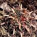Ferocactus latispinus RB2 por Robby's Sukkulentenseite
