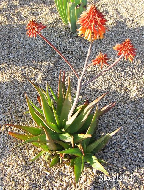 Aloe rudikope hyb. 'Little Gem' 2