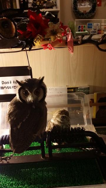 kiba owl cafe 12 - baby owls