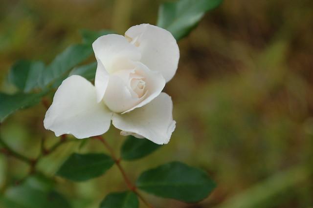 Fall Rose in Sunken Garden, Cambridge