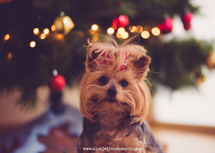 yorkie navideño