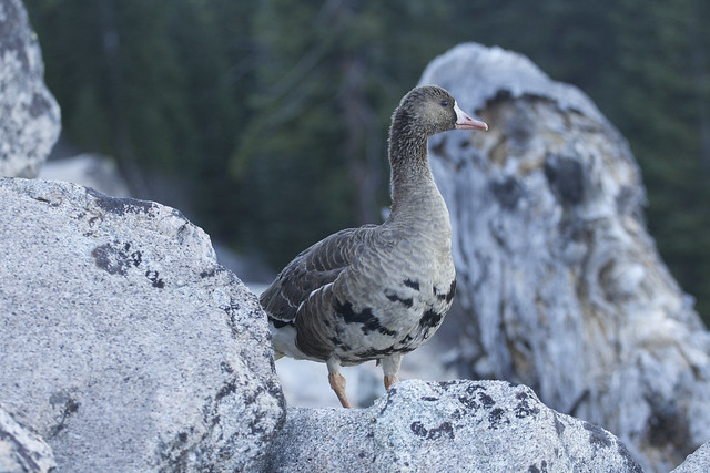 """northern scree goose !"""