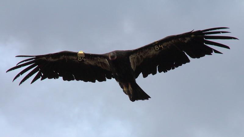 IMG_7100 California Condor #484