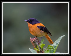 The Black and Orange Flycatcher