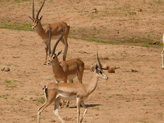 common eland(0.0), vicuã±a(0.0), white-tailed deer(0.0), kudu(0.0), pronghorn(0.0), impala(0.0), savanna(0.0), animal(1.0), antelope(1.0), springbok(1.0), mammal(1.0), fauna(1.0), oryx(1.0), safari(1.0), gazelle(1.0), wildlife(1.0),