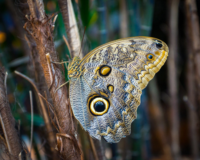 Butterfly, Owl Butterfly, Big Butterfly,