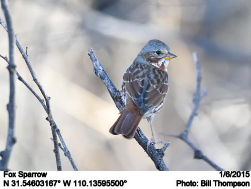 birds az foxsparrow passerellailiaca