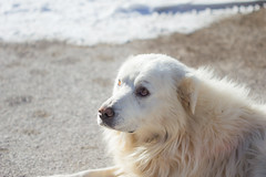 dog breed, animal, dog, street dog, maremma sheepdog, mammal, slovak cuvac, golden retriever, great pyrenees,