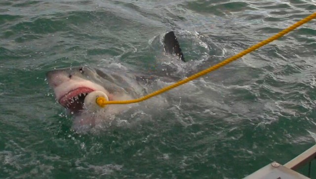 Tiburón blanco en Gansbaai (Sudáfrica)
