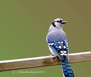 Geaie bleu