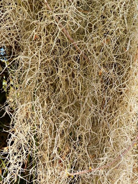 spanish moss 5