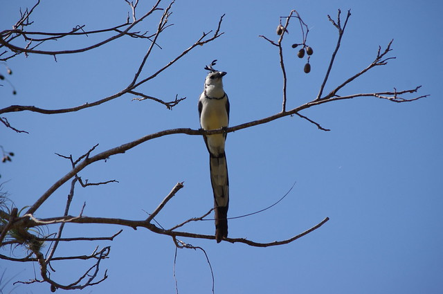 Urraca (Blue-Tailed Magpie), Charco Verde Reserve, Island of Ometepe, Nicaragua